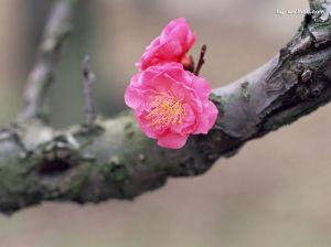 [wallcoo_com]_Chinese_plum_blossom_17GA010