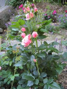 The Kate Sheppard Rose